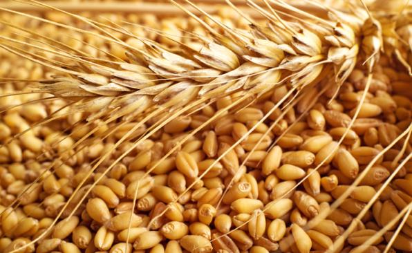 Granos y una espiga de kanut, un cereal similar a la quinoa